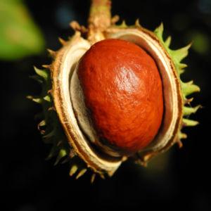 Gewoehnliche Rosskastanie Baum Frucht braun Aesculus hippocastanum 26