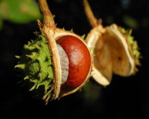Gewoehnliche Rosskastanie Baum Frucht braun Aesculus hippocastanum 27