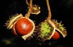Gewoehnliche Rosskastanie Baum Frucht braun Aesculus hippocastanum 34