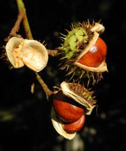 Gewoehnliche Rosskastanie Baum Frucht braun Aesculus hippocastanum 35