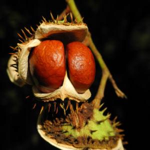 Gewoehnliche Rosskastanie Baum Frucht braun Aesculus hippocastanum 36