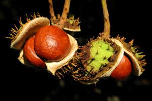 Gewoehnliche Rosskastanie Baum Frucht braun Aesculus hippocastanum 37