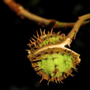Gewoehnliche Rosskastanie Baum Fruchthuelle braun Aesculus hippocastanum 30