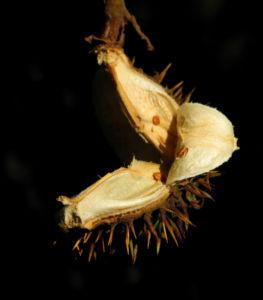 Gewoehnliche Rosskastanie Baum Fruchthuelle braun Aesculus hippocastanum 35