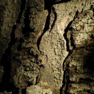 Gewoehnliche Rosskastanie Baum Rinde grau Aesculus hippocastanum 01
