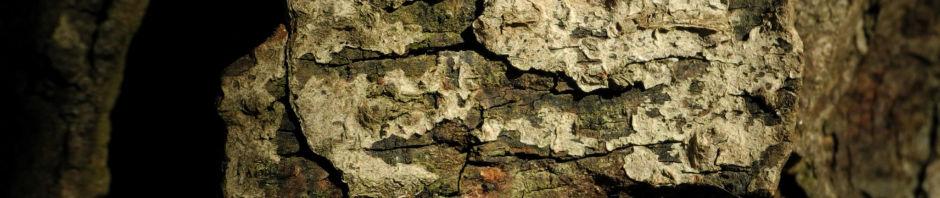 gewoehnliche-rosskastanie-aesculus-hippocastanum
