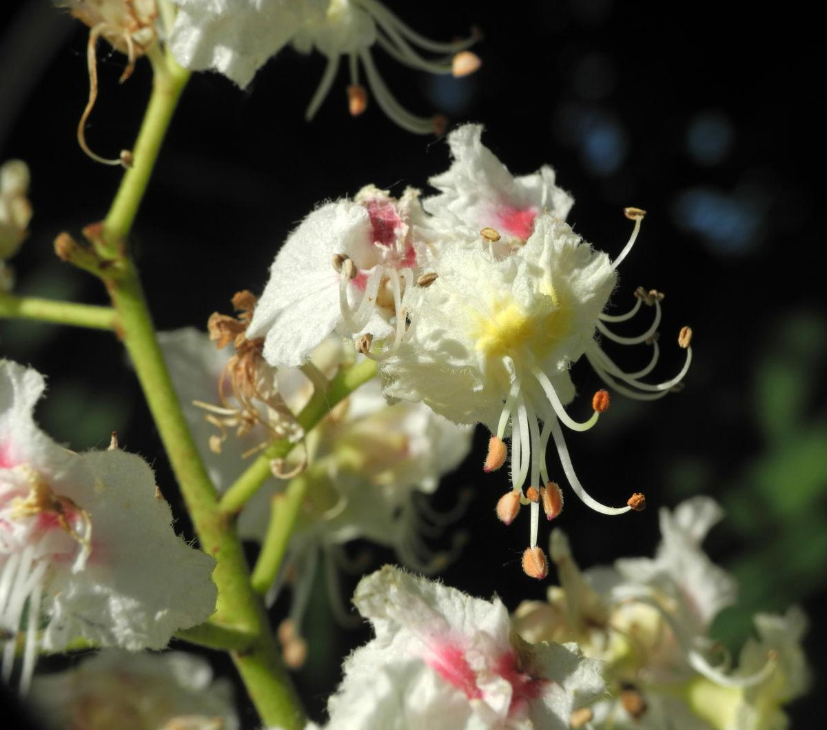 Gewoehnliche Rosskastanie Bluete weiß Aesculus hippocastanum