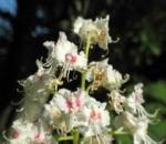 Bild: Gewöhnliche Rosskastanie Blüte weiß Aesculus hippocastanum