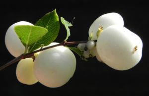 Gewoehnliche Schneebeere Beere weiss Symphoricarpos albus 03