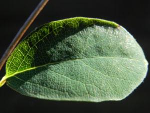 Gewoehnliche Schneebeere Beere weiss Symphoricarpos albus 10