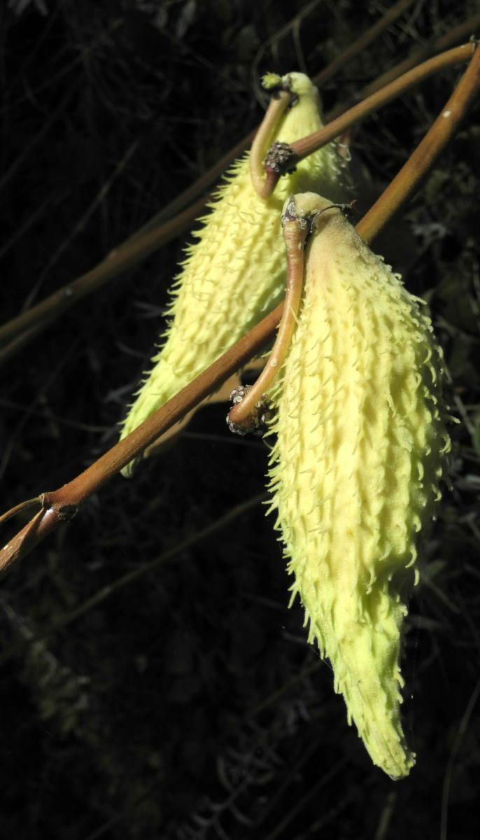Gewoehnliche Seidenpflanze Balgfrucht Asclepias syriaca