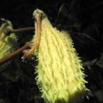 Gewoehnliche Seidenpflanze Balgfrucht Asclepias syriaca 05