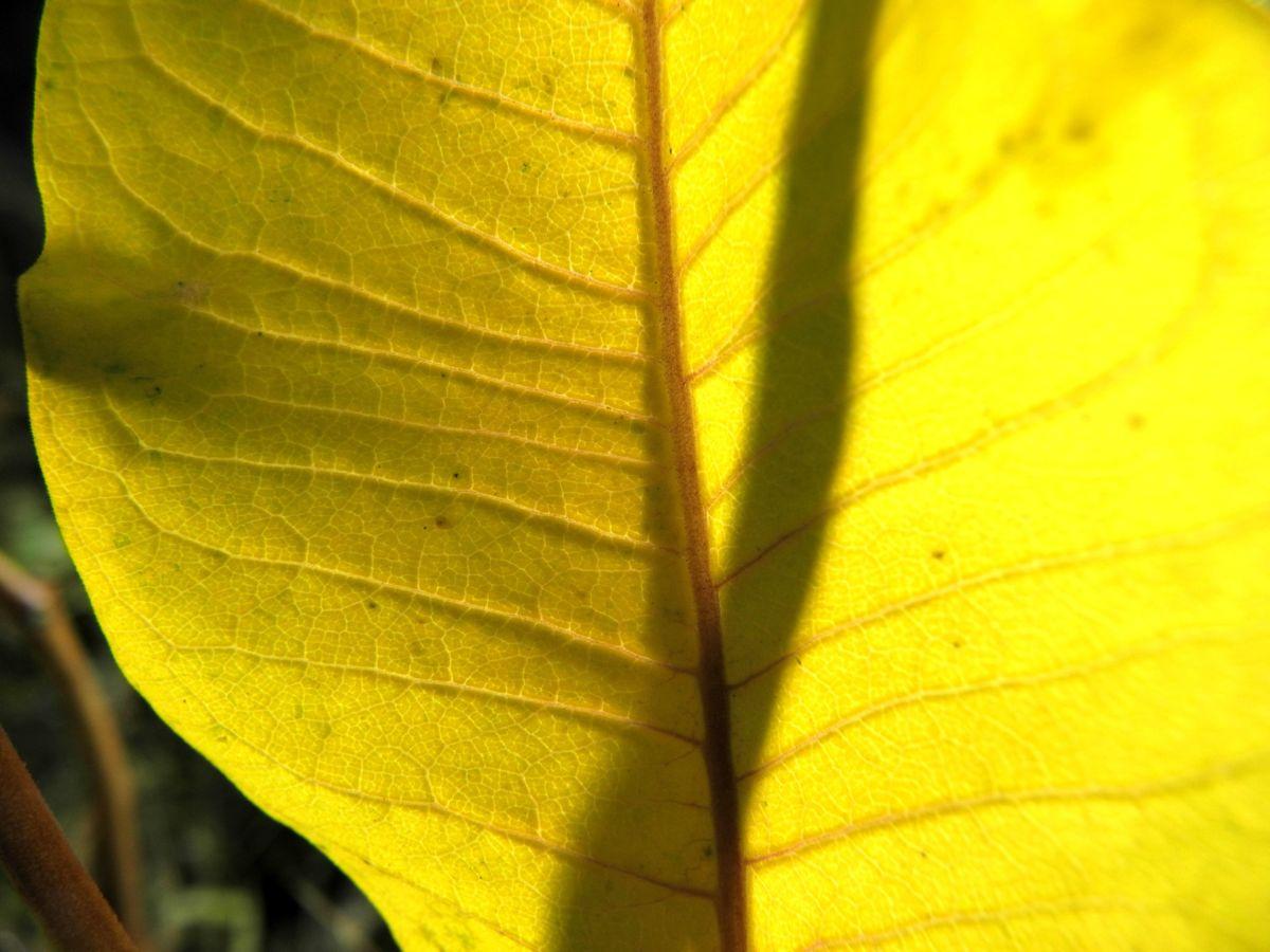 Gewoehnliche Seidenpflanze Blatt Asclepias syriaca