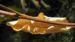 Zurück zum kompletten Bilderset Gewöhnliche Seidenpflanze Balgfrucht Asclepias syriaca