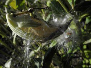 Gewoehnliche Seidenpflanze Frucht gruen Asclepias syriaca 02