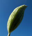 Gewoehnliche Seidenpflanze Frucht gruen Asclepias syriaca 03