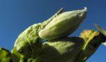 Gewoehnliche Seidenpflanze Frucht gruen Asclepias syriaca 04