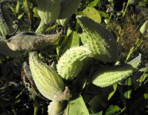 Gewoehnliche Seidenpflanze Frucht gruen Asclepias syriaca 06