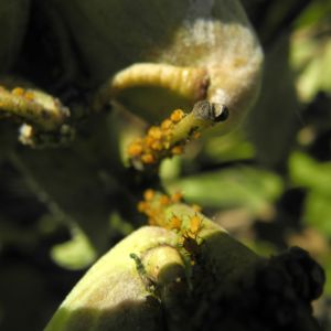 Gewoehnliche Seidenpflanze Frucht gruen Asclepias syriaca 08