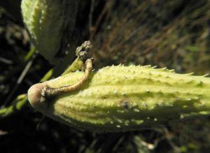 Gewoehnliche Seidenpflanze Frucht gruen Asclepias syriaca 16