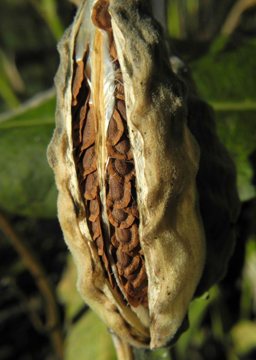 Gewoehnliche Seidenpflanze Frucht gruen Asclepias syriaca