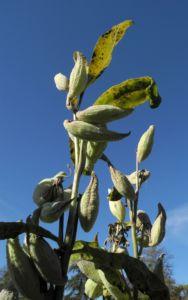 Gewoehnliche Seidenpflanze Frucht gruen Asclepias syriaca 22