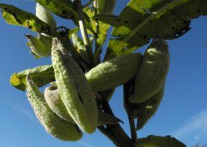 Gewoehnliche Seidenpflanze Frucht gruen Asclepias syriaca 23