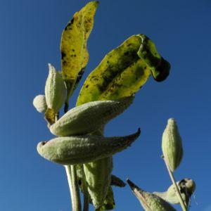Gewoehnliche Seidenpflanze Frucht gruen Asclepias syriaca 24