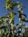 Zurück zum kompletten Bilderset Gewöhnliche Seidenpflanze Frucht Asclepias syriaca