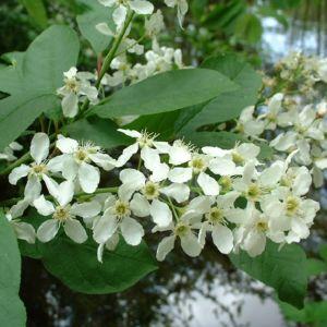 Gewoehnliche Traubenkirsche Bluete Prunus padus 01