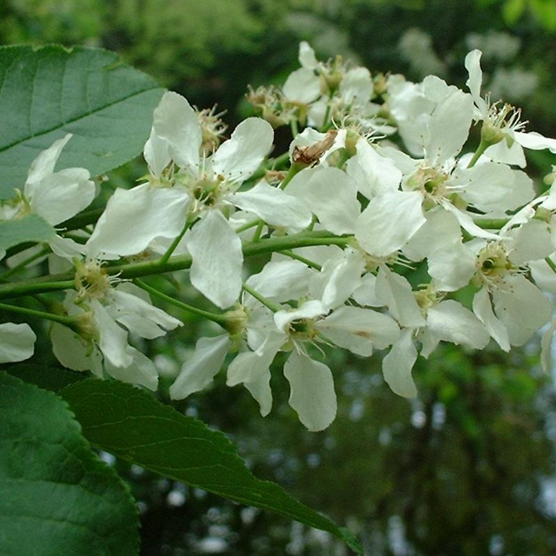 Gewoehnliche Traubenkirsche Bluete Prunus padus