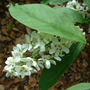 Gewoehnliche Traubenkirsche Bluete Prunus padus 08