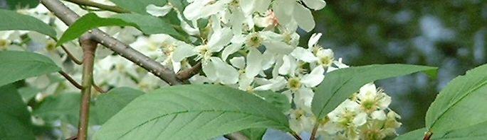 Anklicken um das ganze Bild zu sehen  Gewöhnliche Traubenkirsche Blüte weiß Prunus padus