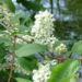Zurück zum kompletten Bilderset Gewöhnliche Traubenkirsche Blüte weiß Prunus padus