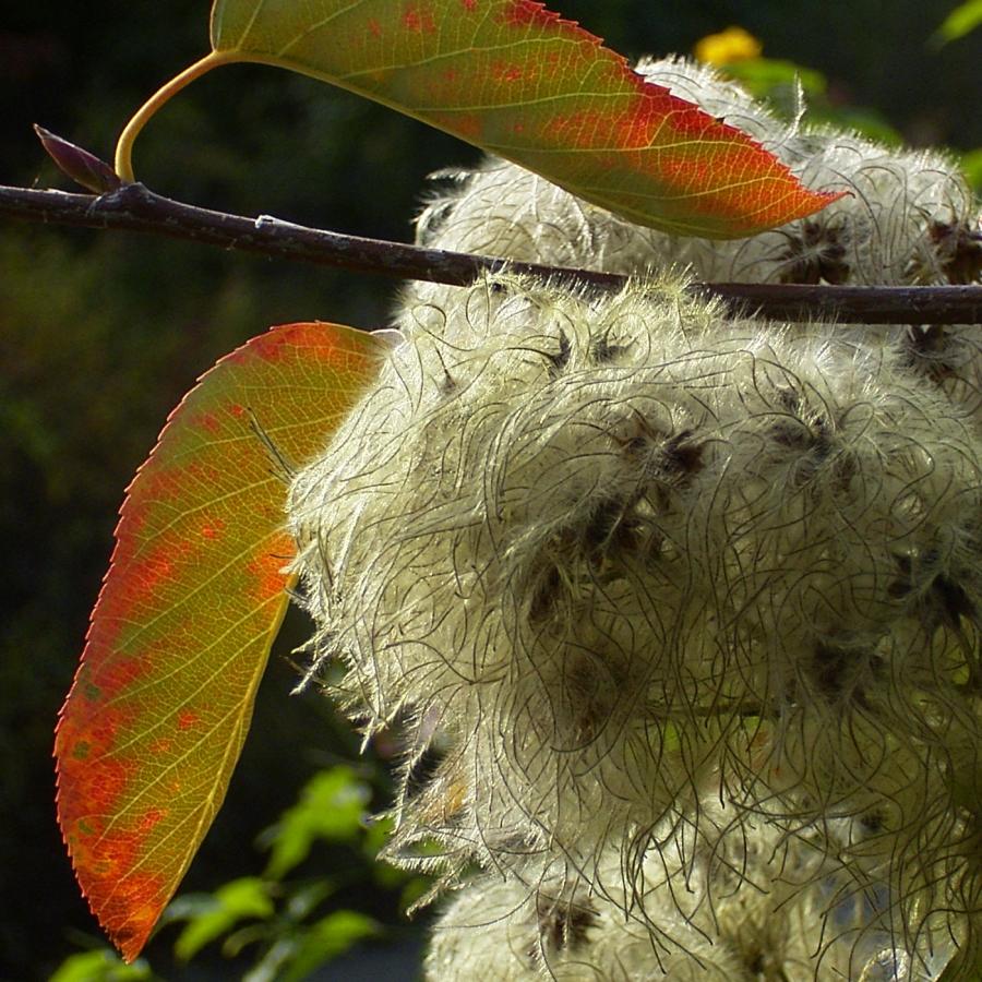 Gewoehnliche Waldrebe Frucht Clematis vitalba
