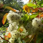 Bild: Gewöhnliche Waldrebe Frucht silbrig Clematis vitalba