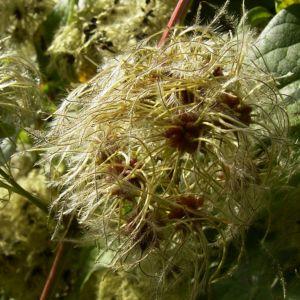 Bild: Gewoehnliche Waldrebe Frucht Clematis vitalba