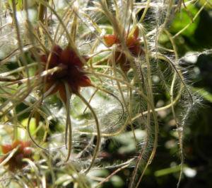 Gewoehnliche Waldrebe Samen weiss Clematis vitalba 11
