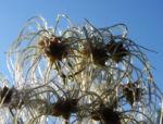 Bild: Gewöhnliche Waldrebe Samen weiß Clematis vitalba