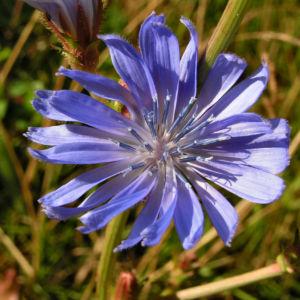 Gewoehnliche Wegwarte Bluete blau Cichorium intybus 01