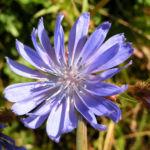 Gewoehnliche Wegwarte Bluete blau Cichorium intybus 04