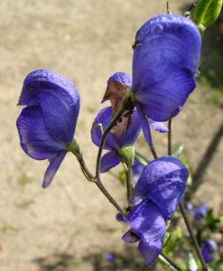 Gewoehnlicher Eisenhut Bluete blau Aconitum napellus 03