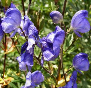 Gewoehnlicher Eisenhut Bluete blau Aconitum napellus 05