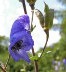 Gewoehnlicher Eisenhut Bluete blau Aconitum napellus 08