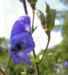 Zurück zum kompletten Bilderset Gewöhnlicher Eisenhut Blüte blau Aconitum napellus