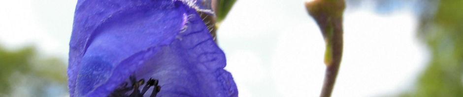 gewoehnlicher-eisenhut-bluete-blau-aconitum-napellus