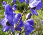 Gewoehnlicher Eisenhut Bluete blau Aconitum napellus 09