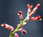 Gewoehnlicher Erdrauch Bluete rose Fumaria officinalis 04