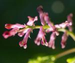 Gewoehnlicher Erdrauch Bluete rose Fumaria officinalis 06