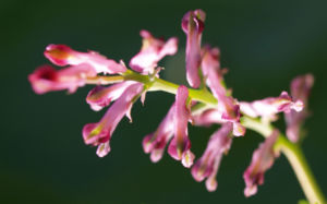 Gewoehnlicher Erdrauch Bluete rose Fumaria officinalis 08